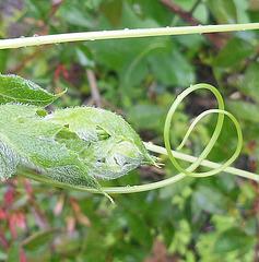 Drôle de caméléon / Funny chameleon