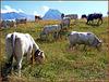 Usseaux : il pascolo  delle mucche locali - (768)