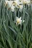 wet daffodils