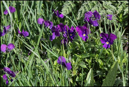Viola lutea (3)