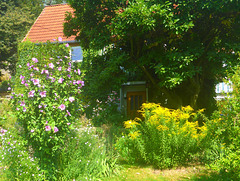 Goldraute und Hibiskus vor meinem Haus