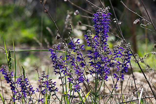 20170516 2987VRTw [A] Wiesensalbei (Salvia pratensis), Neusiedler See, [Oslib-Rust]