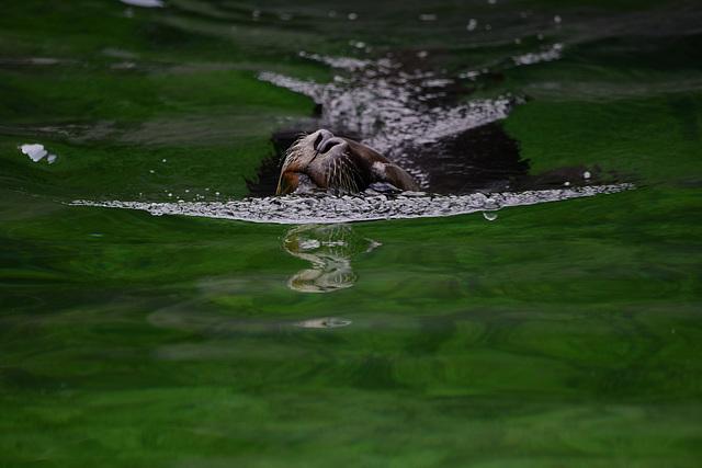 Schnauze über dem Wasser