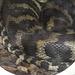 20181021 4324CPw [D~HF] Teppichpython (Morelia spilota), Tierpark Herford