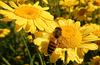 Biene auf Färberkamille