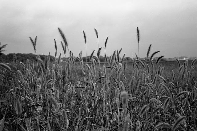 Green bristle grass