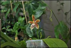 Phalaenopsis tetraspis x cornu-cervi var. chattaladae (1)