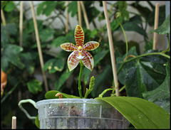 Phalaenopsis tetraspis x cornu-cervi var. chattaladae (5) - Copie