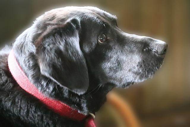 Jet  -  a Black Labrador