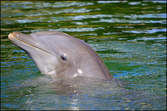 porpoise at play