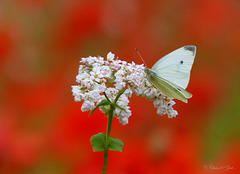 Small white ~ Klein koolwitje (Pieris rapae)...