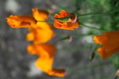 California Poppies Blur