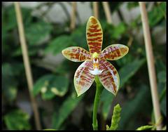 Phalaenopsis tetraspis x cornu-cervi var. chattaladae (5)