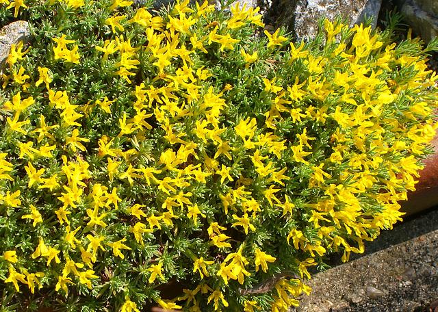 037  Goldprimel - Vitaliana primuliflora