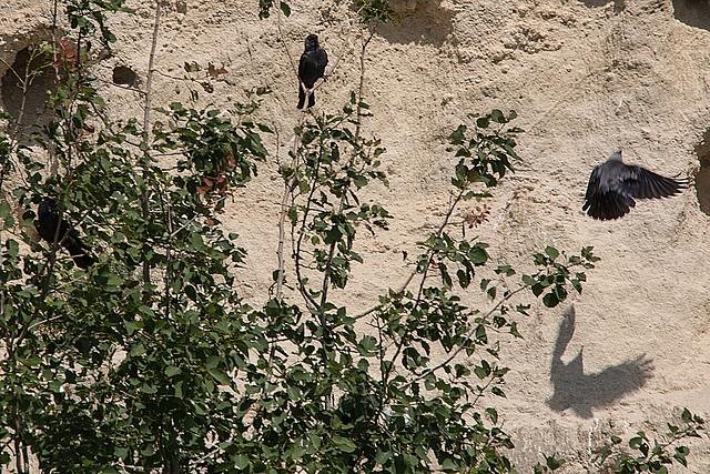 20170516 2992VRTw [A] Dohle (Corvus monedula), Neusiedler See, [Oslib-Rust]