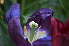 tulipe de l'intérieur