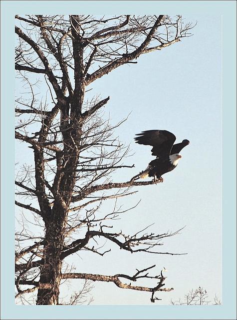Eagle at Lac La Hache, BC