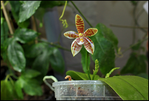 Phalaenopsis tetraspis x cornu-cervi var. chattaladae (6)