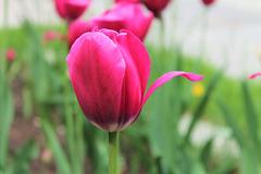 Tulipe russe - тюльпан