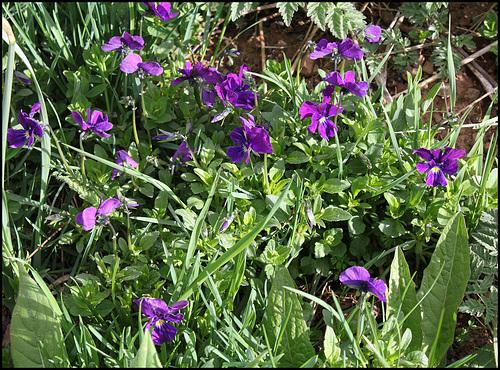 Viola lutea (4)