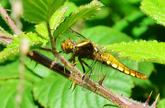 Dragonfly. Broad Bodied Chaser. Libellula fulva. Female