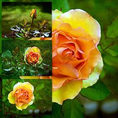A Single Rosebud.