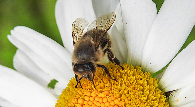 20200614 8531CPw [D~LIP] Honigbiene, Bad Salzuflen