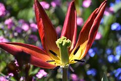 tulipe en fin de vie