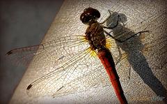Libelle ein Wunder der Natur
