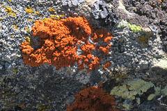 Jaunes, roux, noir, blancs,... lichens du côté du Grand Lac, Le Lauzet, Briançonnais (France)