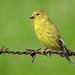 American Goldfinch female / Spinus tristis