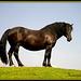 Noriker Braun Pferd  /Pferderasse aus Kärnten At