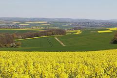Gelb blüht der Raps in der Eifel