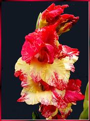Wilde Gladiole. ©UdoSm