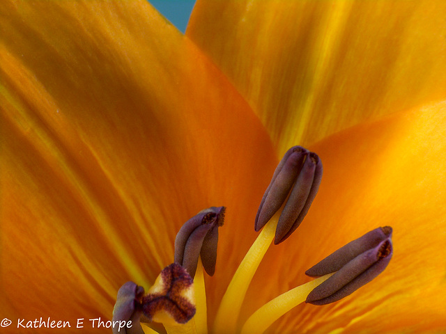 Lily Stamen Pistil Anther