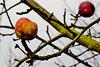 Winteräpfel - Winter apples - Pommes d'hiver