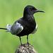 Black Tern / Chlidonias niger