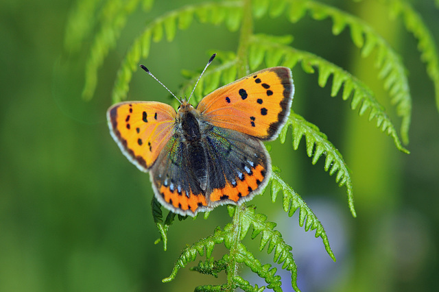 small copper on fern