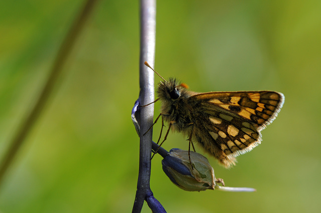 chequered skipper I