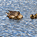 Duck and Ducklings.