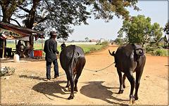 cambodian water buffaloes