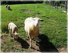 A défaut de la mer, j'ai les moutons ! [ON EXPLORE]