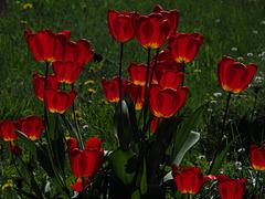 Illuminated Tulips