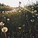 Pusteblumen und Hirtentäschel