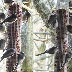 Long-tailed Tits, like fluffy ping-pong balls with long tails, feed together in closely-knit family groups. This family lives amongst the hawthorn hedging and the hazel copse.