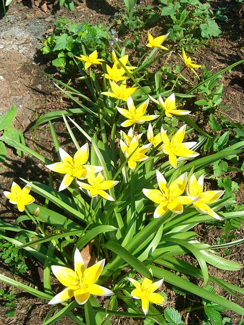 050 Tulipa tarda - ein Zwerg aus Kirgisien