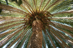 Palm Tree In Icod