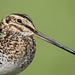 Wilson's Snipe / Gallinago delicata