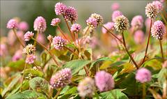 Trifolium, Cascais