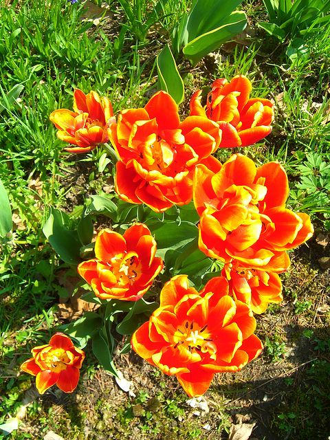 051  In Holland entstanden die schönsten Tulipa gesneriana- Sorten
